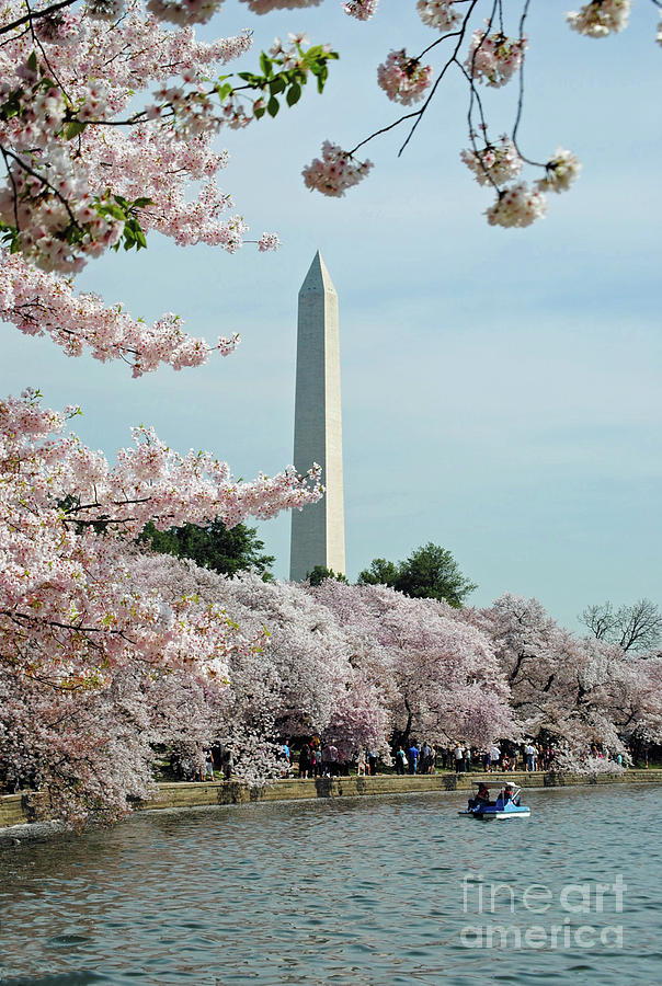 Cherry Photograph - Monumental Cherry Blossoms by Jost Houk
