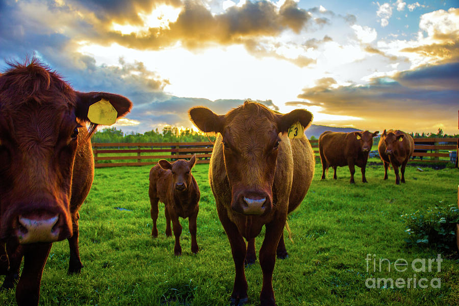 Moo by Michael Cross