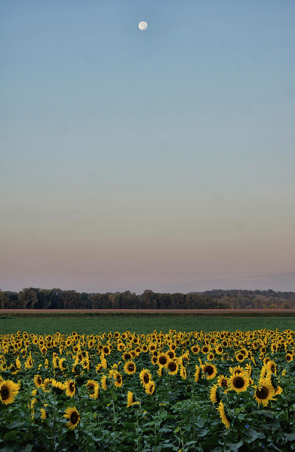 Moon Over Sunflowers by Cricket Hackmann