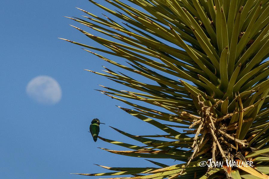 California Photograph - Moon perch by Joan Wallner