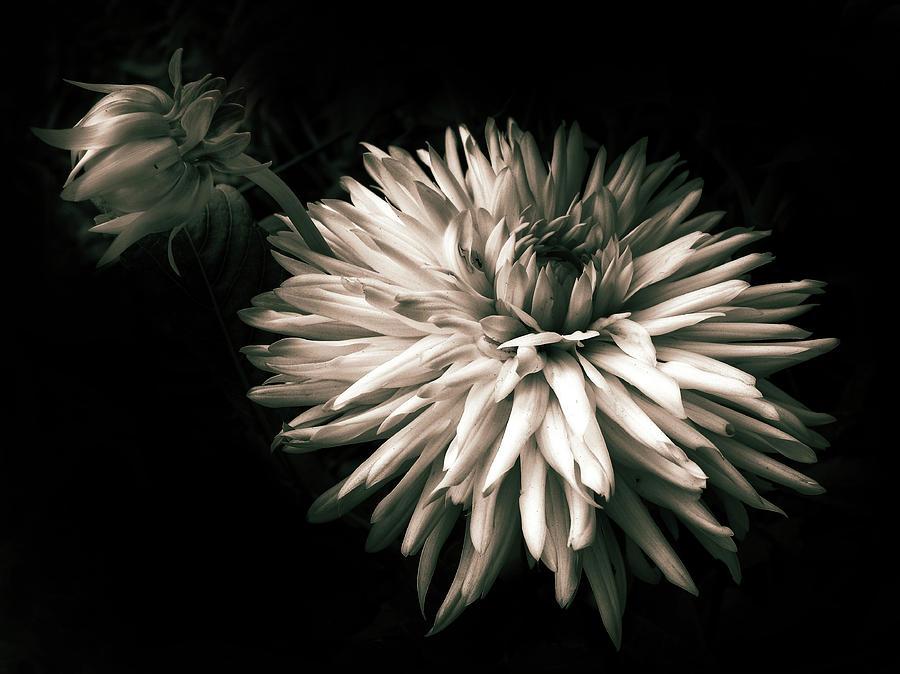 Dahlia Photograph - Moonlight And Dahlia by Jessica Jenney