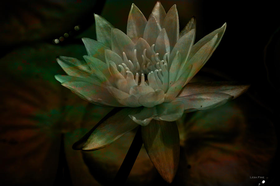 Moonlit Water Lily by Lesa Fine