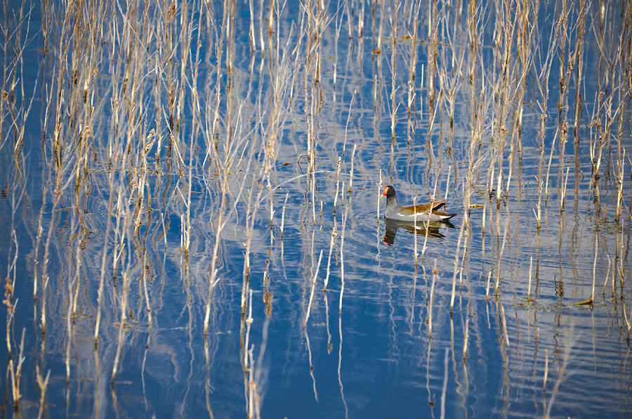 Moorhen Photograph - Moorhen In The Reeds by Carolyn Marshall