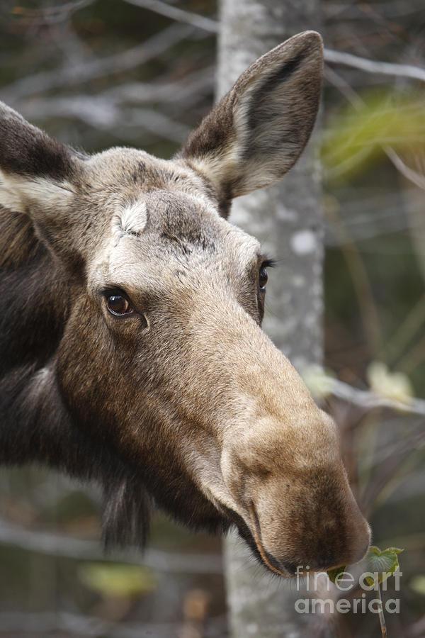 Mountain Photograph - Moose - White Mountains New Hampshire Usa by Erin Paul Donovan