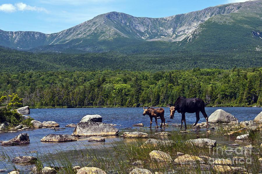 Maine Photograph - Moose Baxter State Park Maine 2 by Glenn Gordon