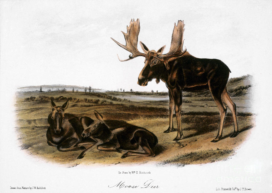 1846 Photograph - Moose Deer (cervus Alces) by Granger