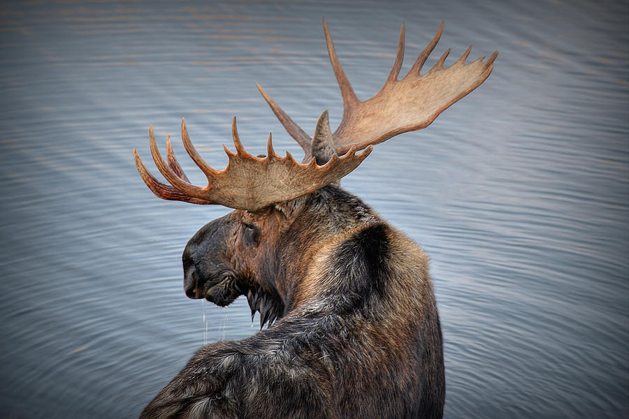 Moose Photograph - Moose Drool by Ryan Smith