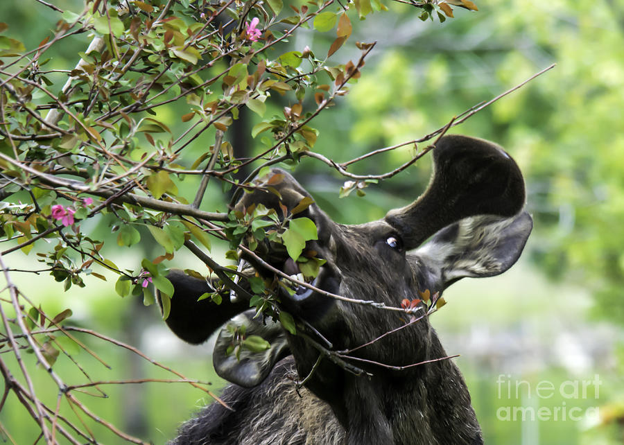 Bull Moose Photograph - Moose Eating Crab Apple Tree by Gary Beeler