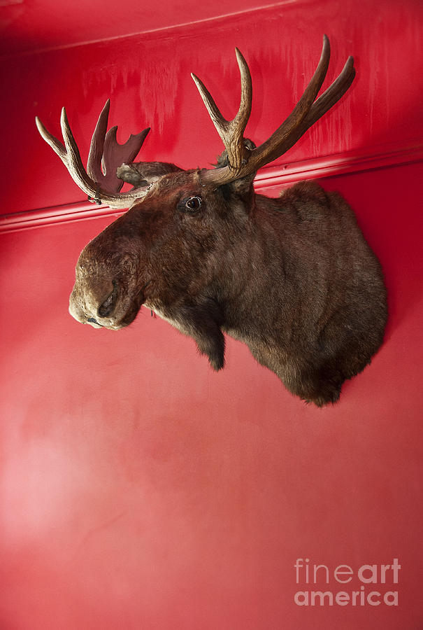 Stuffed Photograph - Moose Head Mounted On A Wall. by John Greim