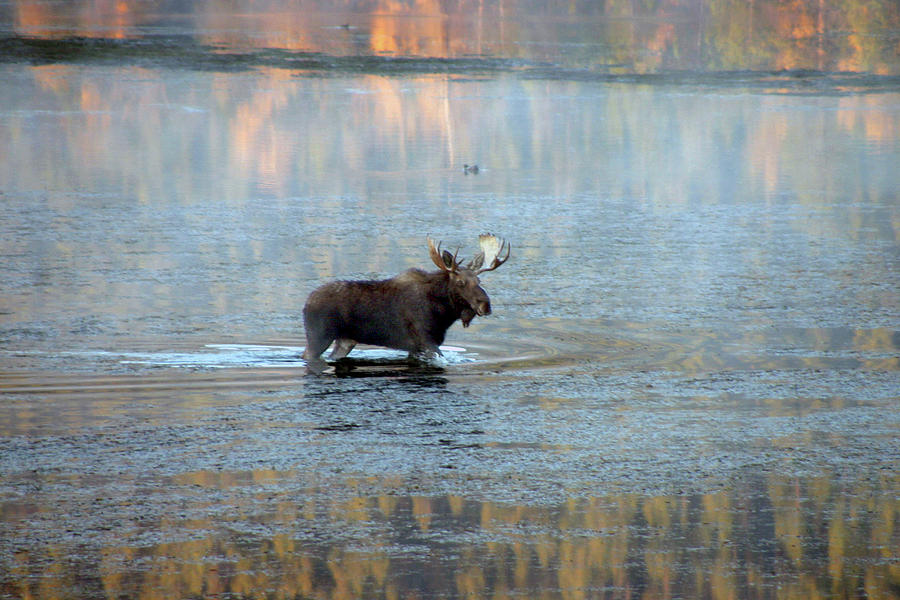 Brown Photograph - Moose In Autumn Snake by Michael Riley