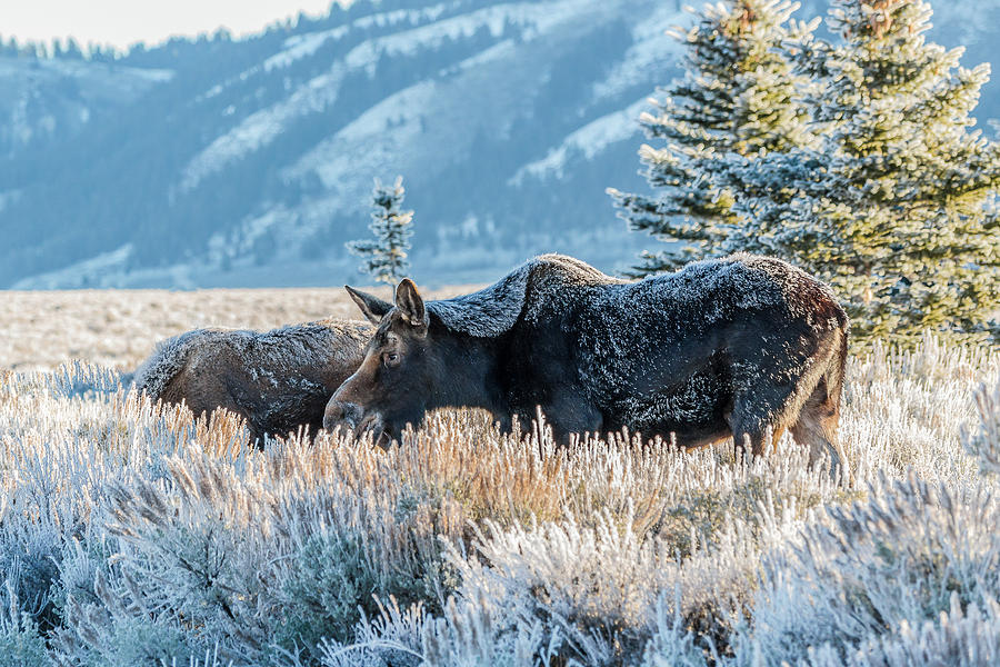 Moose Photograph - Moose In Cold Winter Ice by Yeates Photography