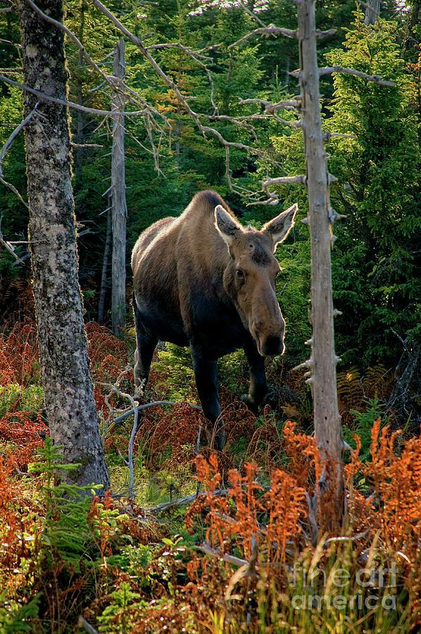 Nova Scotia Photograph - Moose In The Wild by Scott Kemper