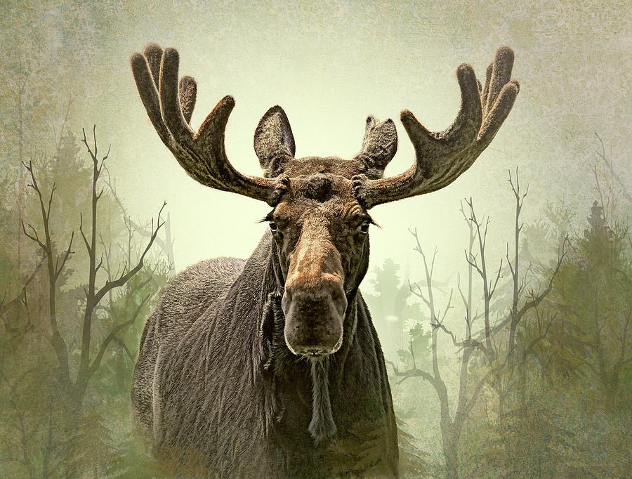 Moose In The Woodland Forest Photograph