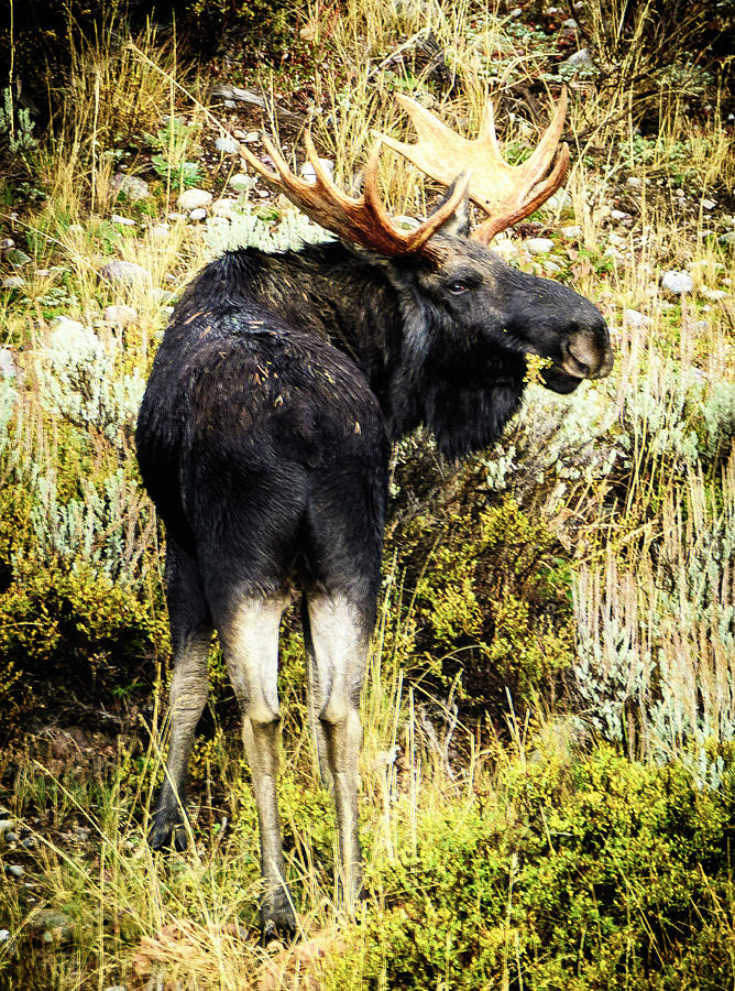 Moose Photograph - Moose by Norman Hall