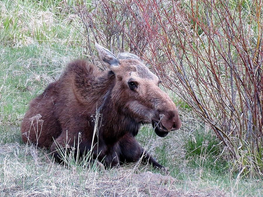 Moose Relaxing Photograph by George Bannister