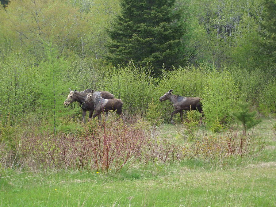 Digital Photograph - Moose With Twins by Sam Persons