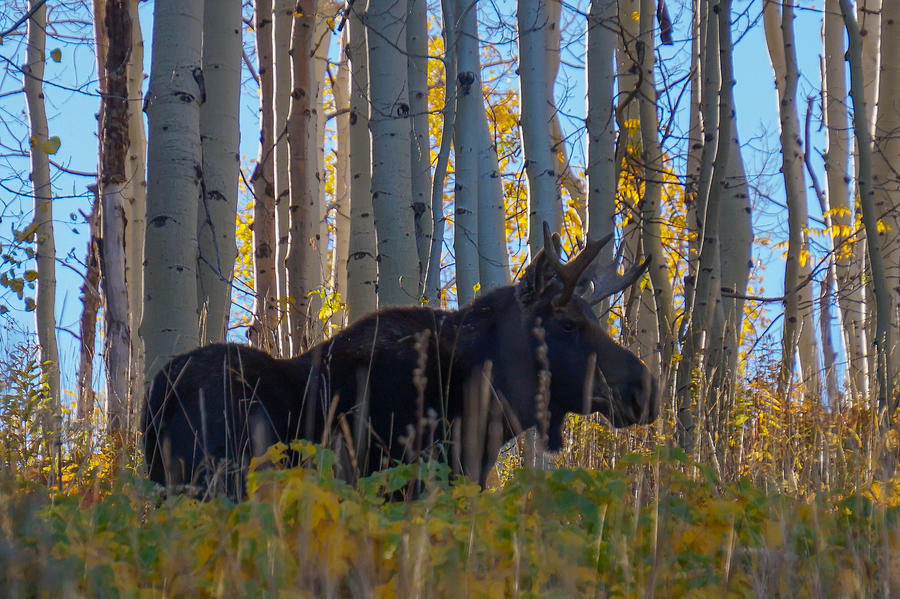 Moose Photograph - Moosey by David Ross