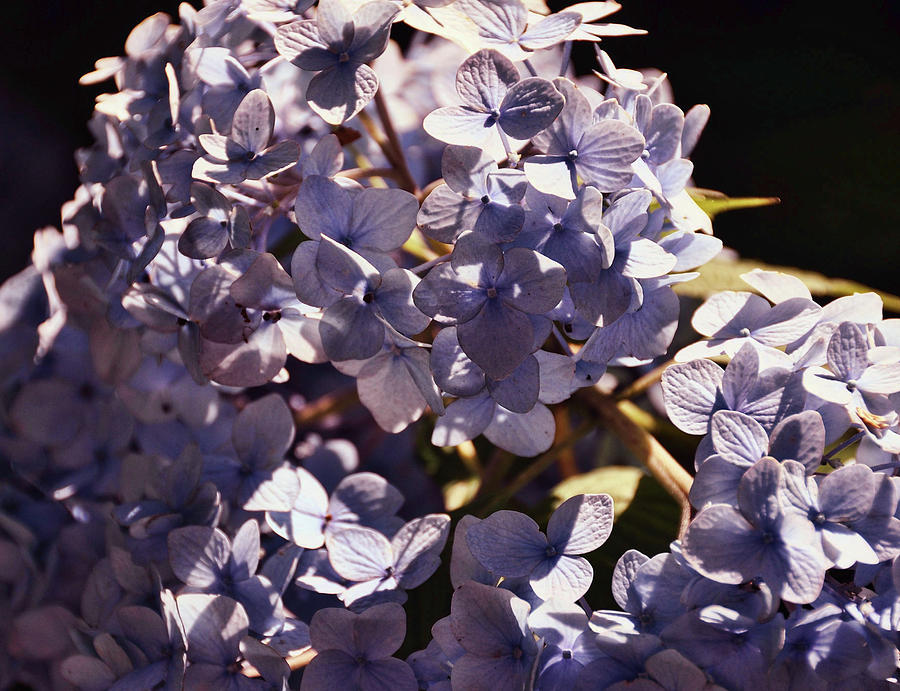 Hydrangea Photograph - Mopheads by JAMART Photography