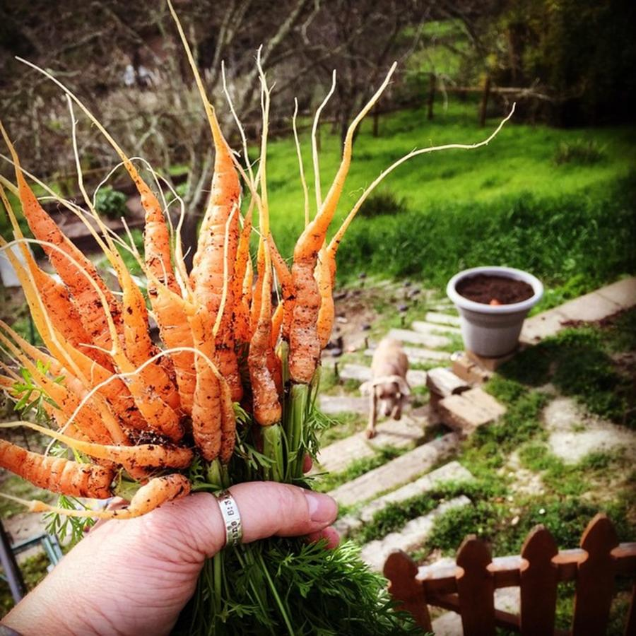 Carrots Photograph - Carrot Picking by Nancy Ingersoll
