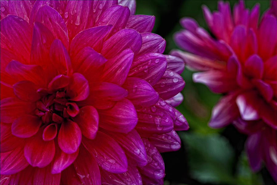 Flowers Photograph - More Serious Magenta by Robert Ullmann