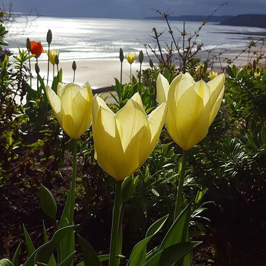 Seaside Photograph - More Tulips At The #seaside by Dante Harker