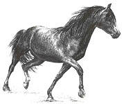 Horse Drawing - Morgan by Barbara Widmann