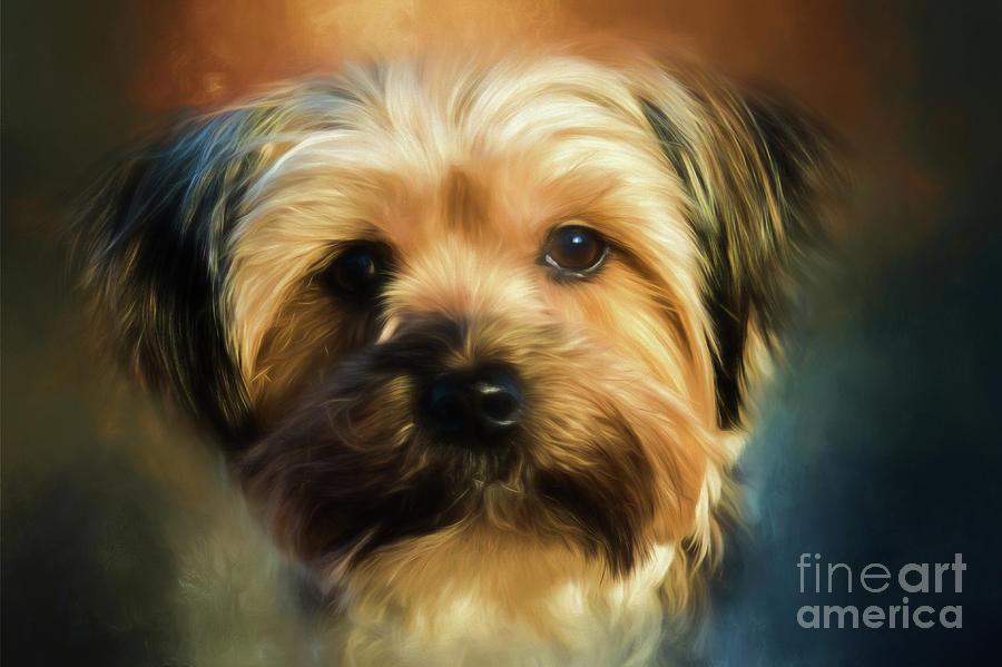 Morkie Portrait Photograph