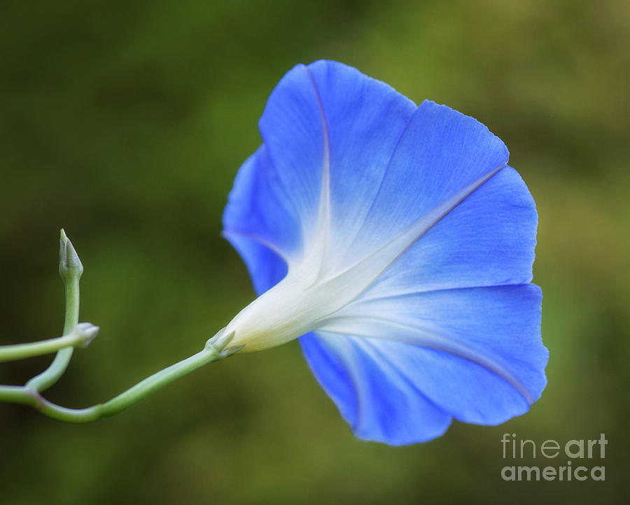 Flower Photograph - Morning Blues by Claudia Kuhn