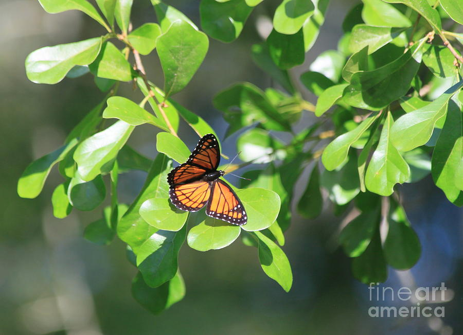 Morning Butterfly Photograph