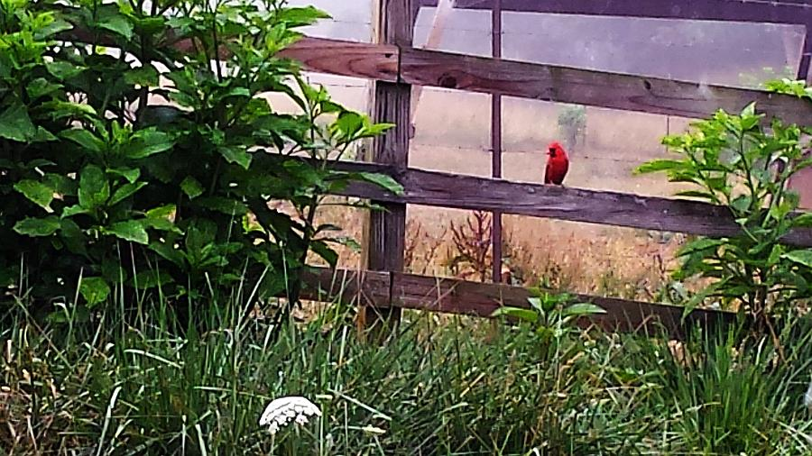 Morning Cardinal by Deb Martin-Webster