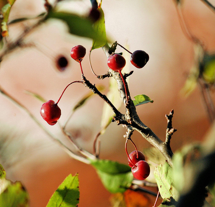 Berries Photograph - Morning Dew Light by Barbara Blanchfield