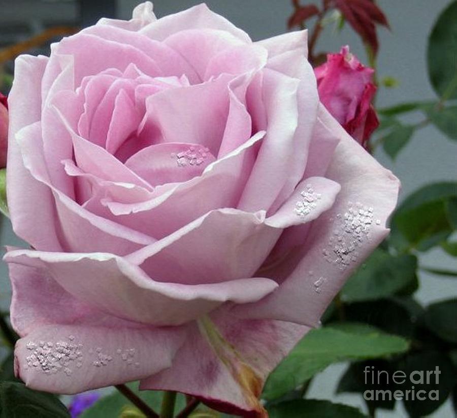 Rose Photograph - Morning Dew by Vicki Lynn Sodora