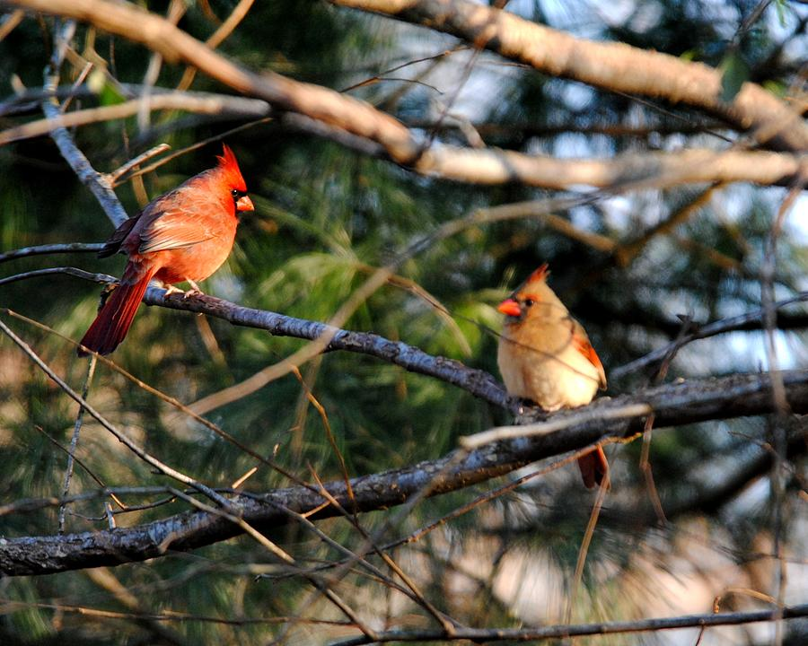 Cardinal Photograph - Morning Discussion by Jai Johnson