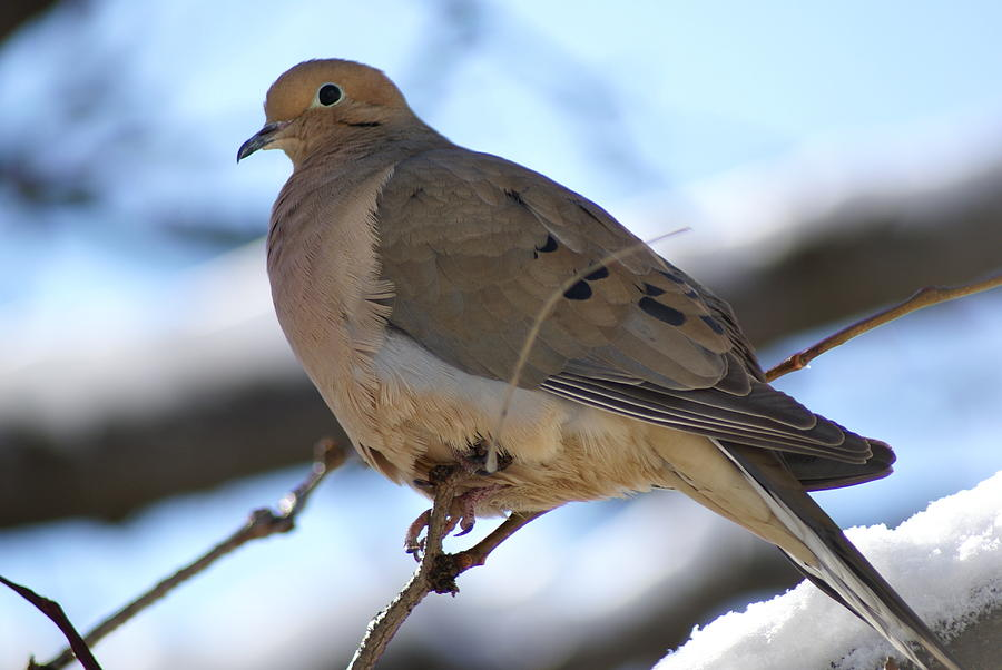 Nature Photograph - Morning Dove by Patricia M Shanahan