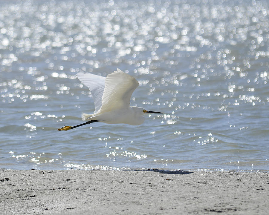 Egret Photograph - Morning Flight by Keith Lovejoy
