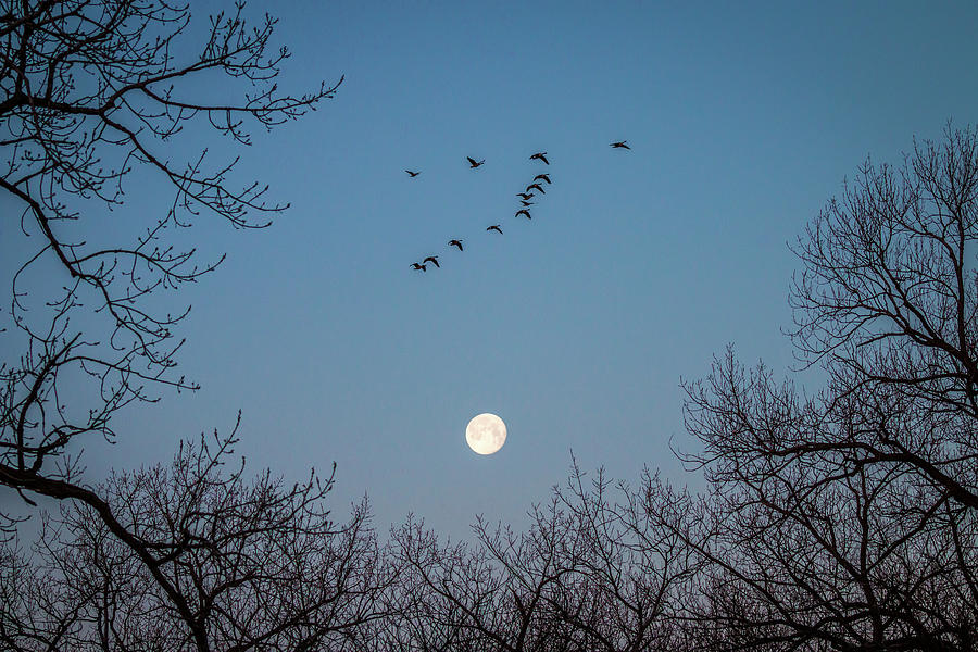 Morning Geese Photograph