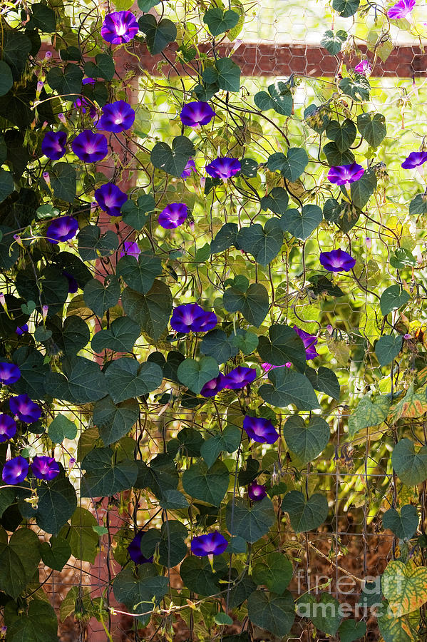 Purple Photograph - Morning Glories by Margie Hurwich