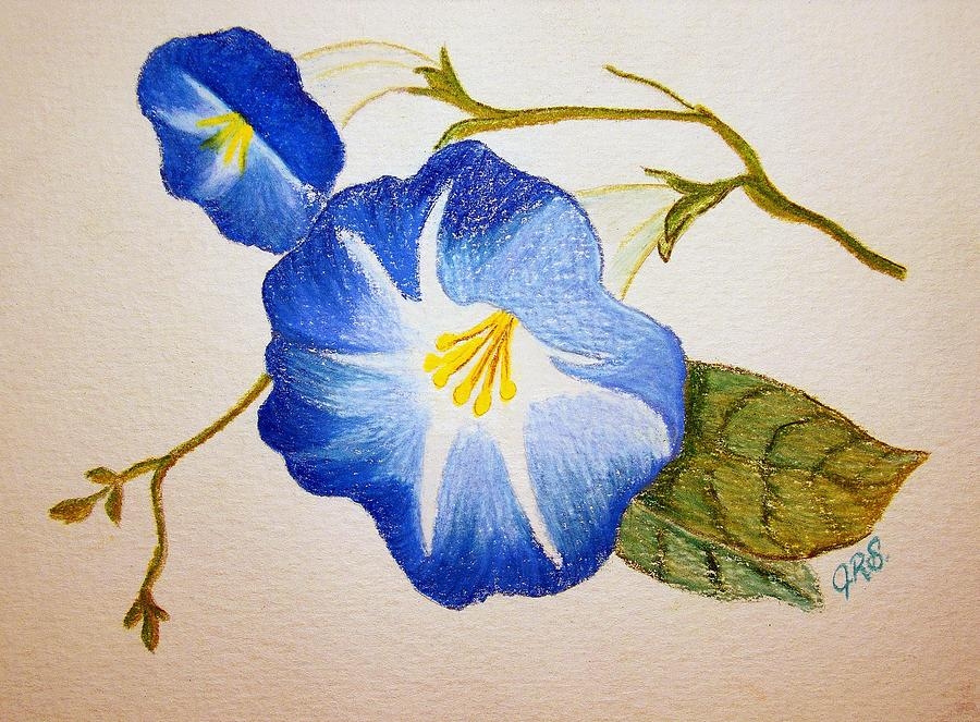 Morning Glory Drawing By J R Seymour