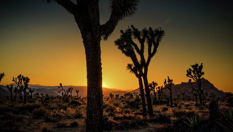 Joshua Trees Photograph - Morning Glow by Sandra Selle Rodriguez