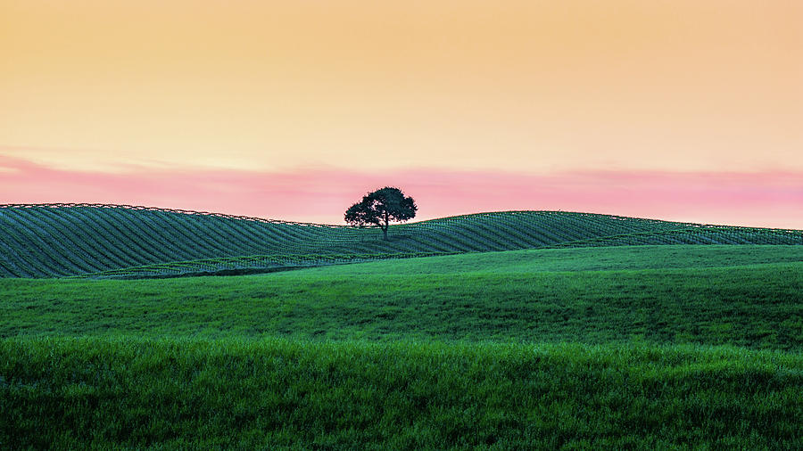 Paso Robles Photograph - Morning Light And Oak Tree by Joseph Smith