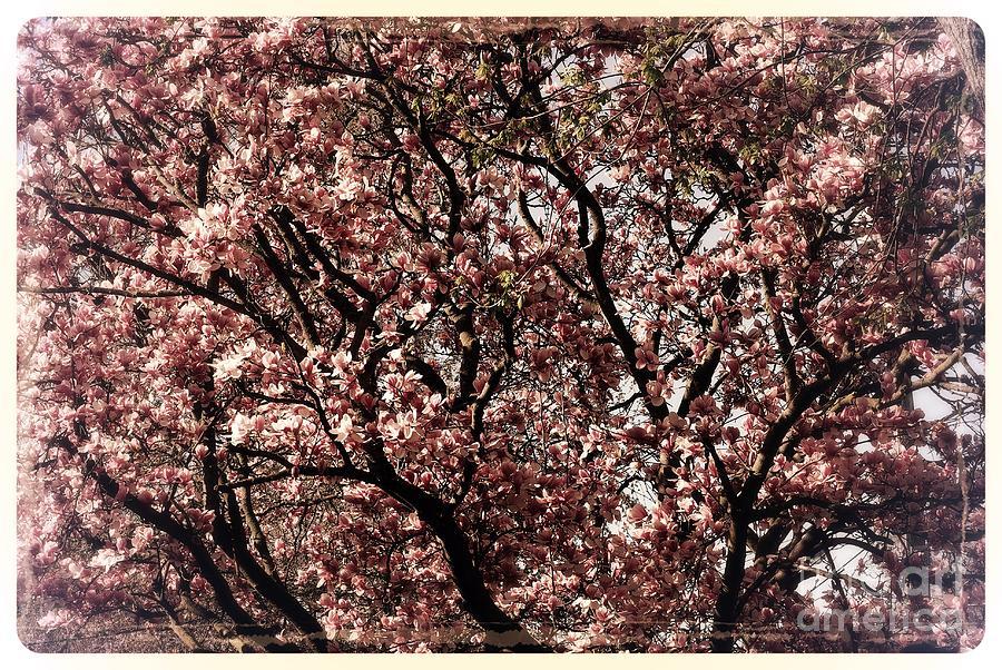 Morning Light Magnolia - Border Photograph