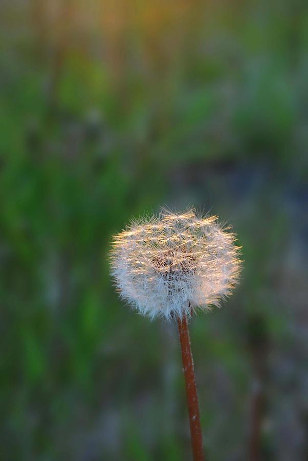 Dandelion Photograph - Morning Light by Marilynne Bull