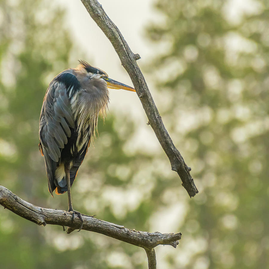 Heron Photograph - Morning Light On Great Blue Heron by Yeates Photography