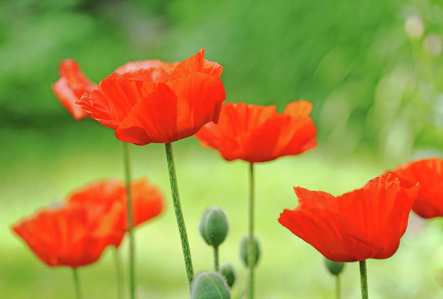 Oriental Poppy Photograph - Morning Light Poppies by Debbie Oppermann