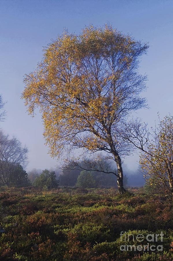 Birch Photograph - Morning Light by Wedigo Ferchland