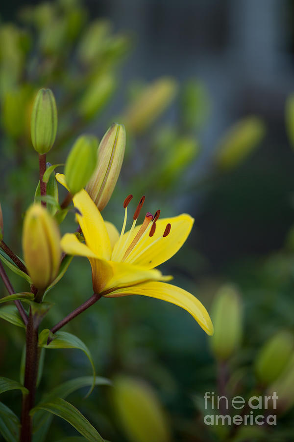 Morning Lily Photograph