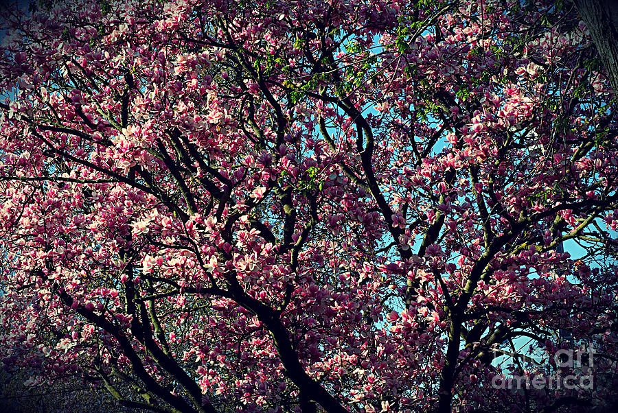 Morning Lit Magnolia Photograph