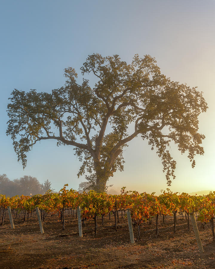 Paso Robles Photograph - Morning Oak And Vineyard by Joseph Smith
