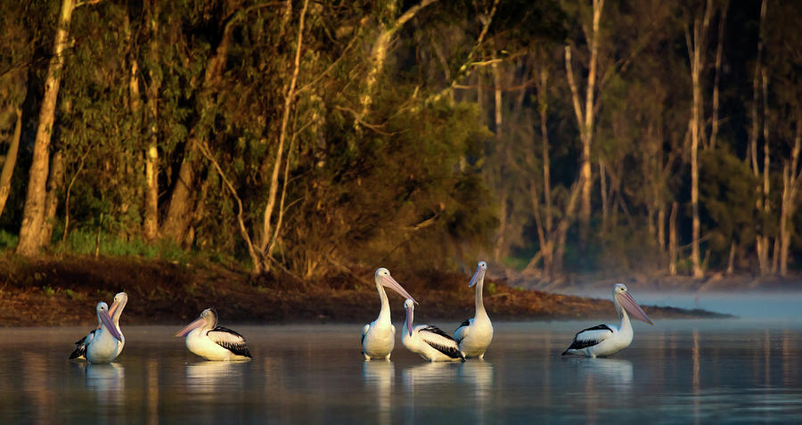Pelican Photograph - Morning on the River by Diana Andersen