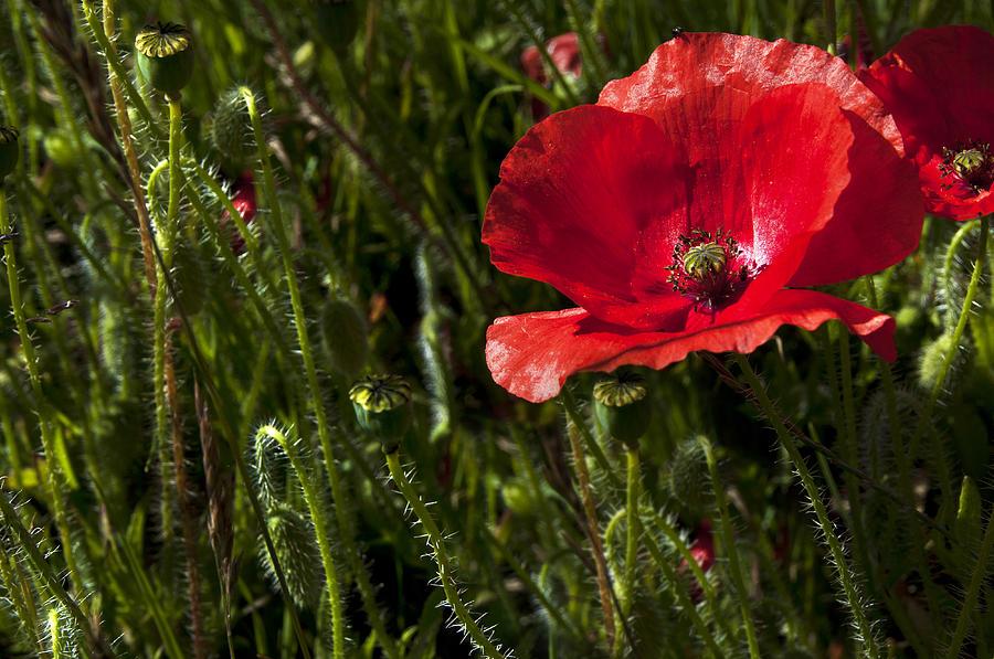 Red Photograph - Morning Poppy by Svetlana Sewell